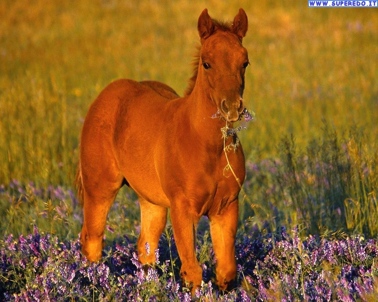 cavalli-12