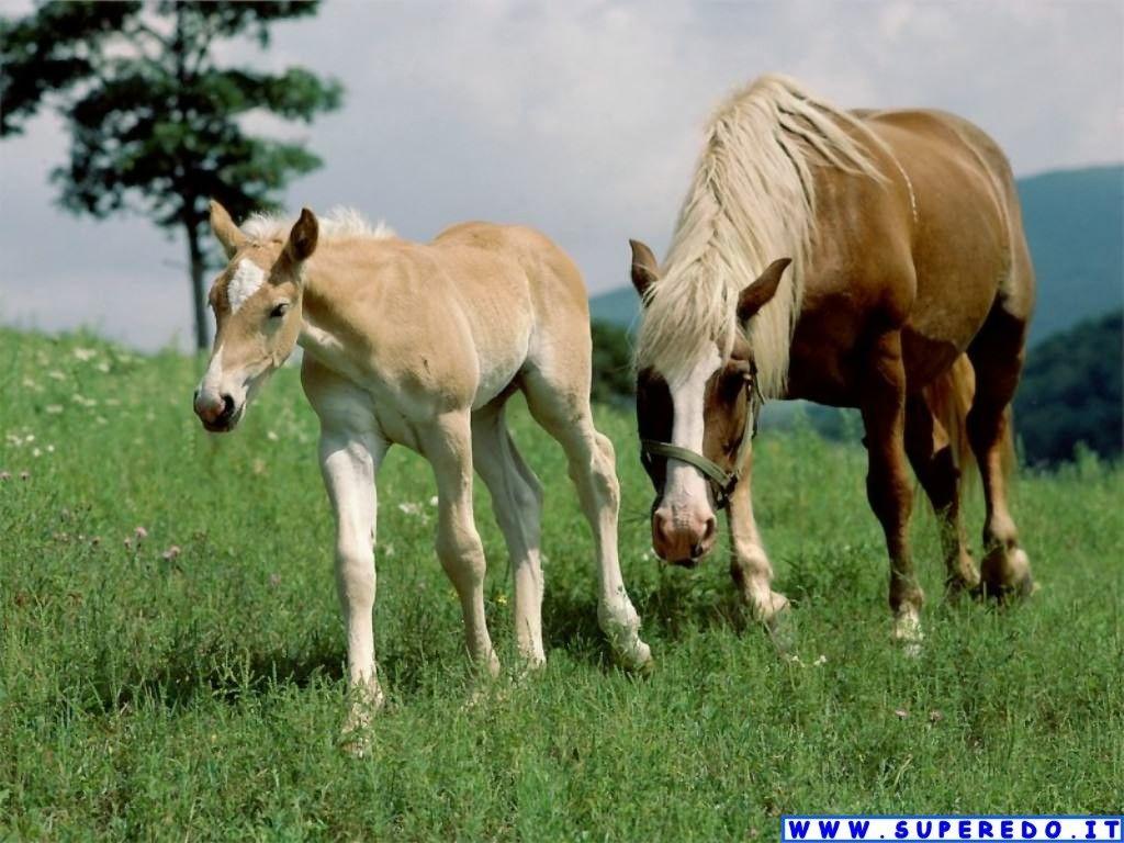 cavalli-9