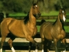 cavalli-13