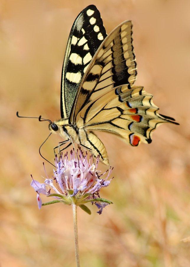 farfalle-101