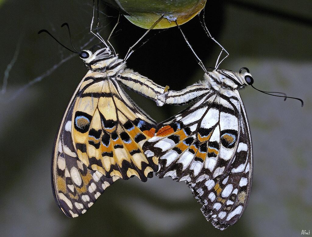 farfalle-102