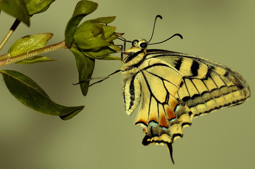 farfalle-104