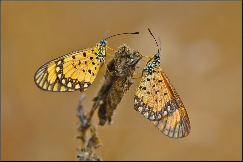 farfalle-108