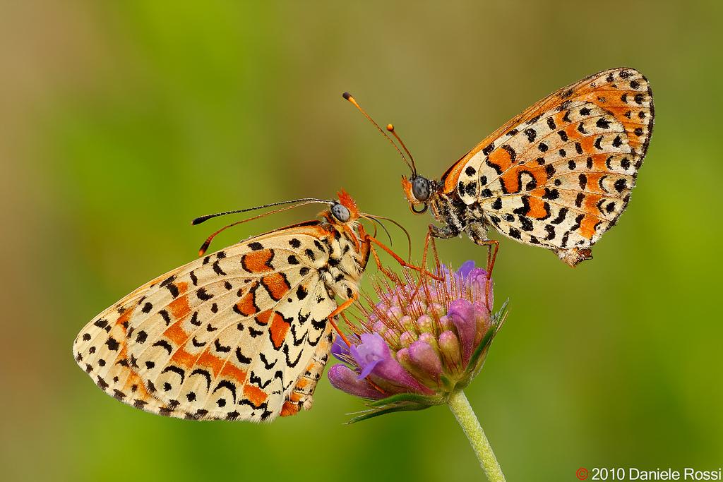 farfalle-110