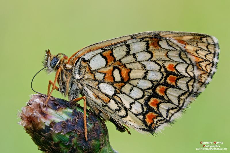 farfalle-112