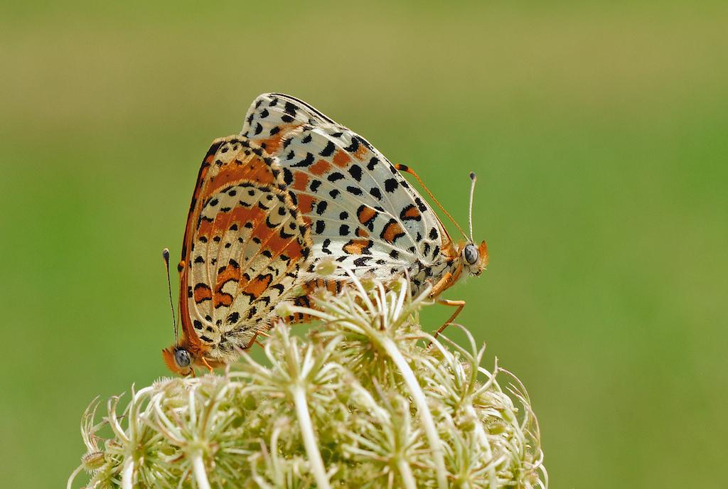 farfalle-113