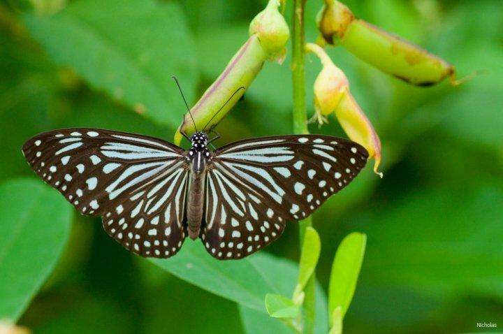 farfalle-16