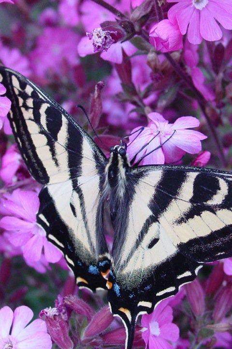 farfalle-25