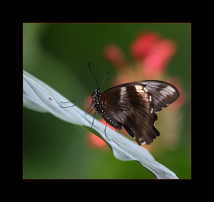 farfalle-3