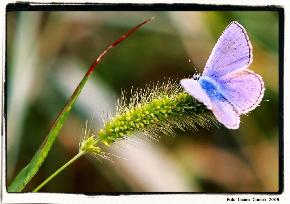 farfalle-5