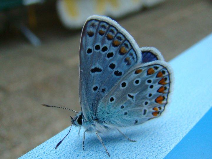 farfalle-52