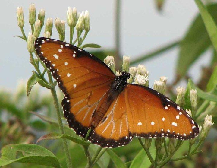 farfalle-58