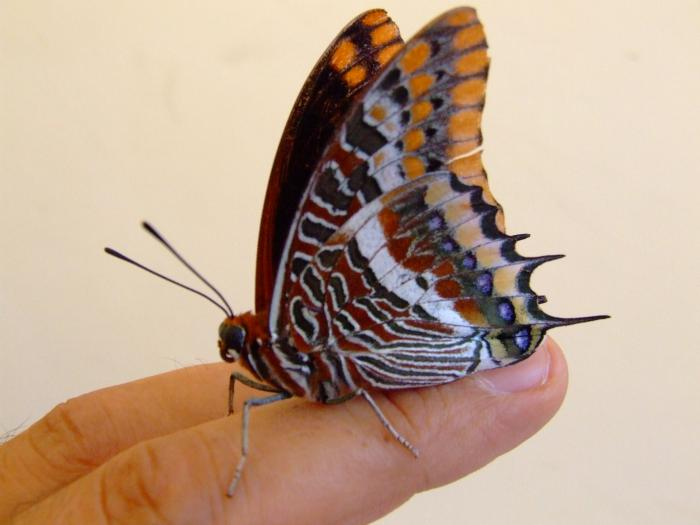 farfalle-7