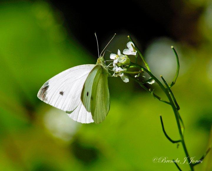 farfalle-70
