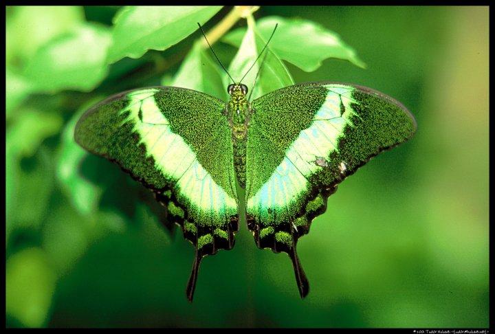 farfalle-78