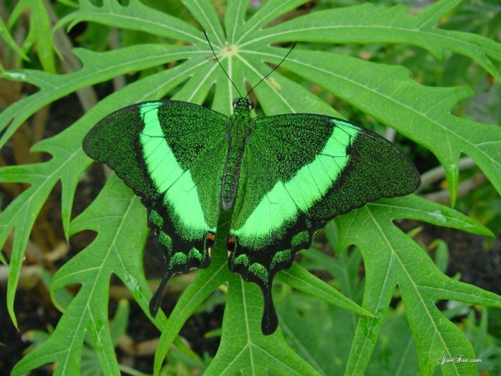 farfalle-79