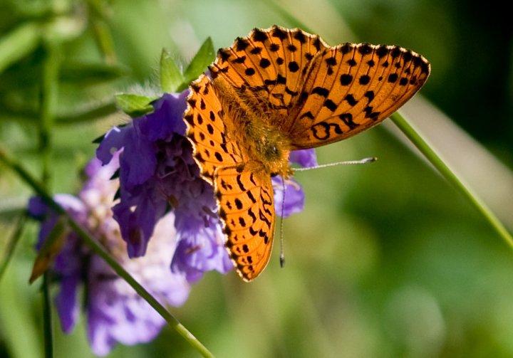 farfalle-85