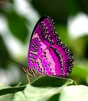 farfalle-91