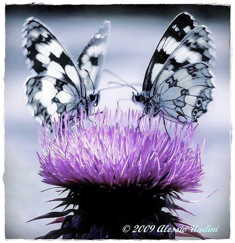 farfalle-92
