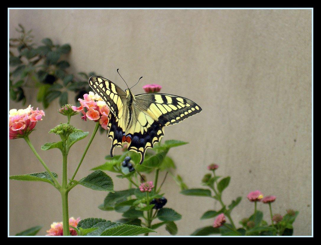 farfalle-96