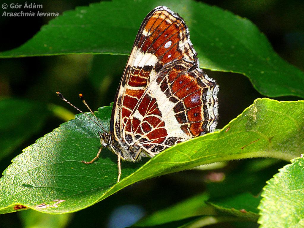farfalle-98