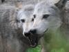 wolf-103