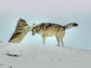 wolf-11