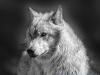 wolf-110