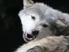 wolf-112