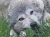 wolf-116