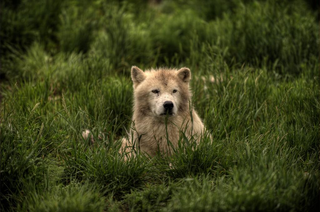 wolf-101