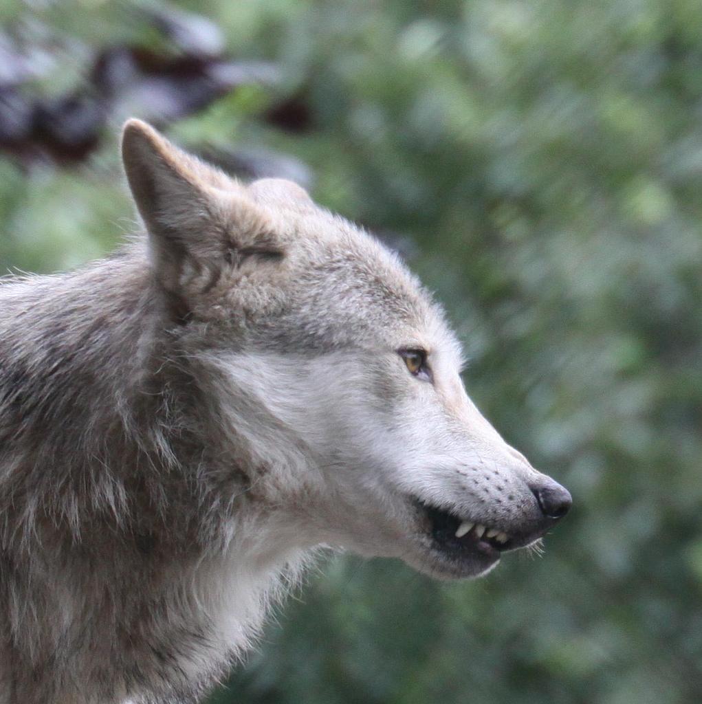 wolf-104