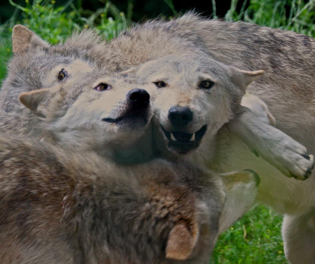 wolf-107
