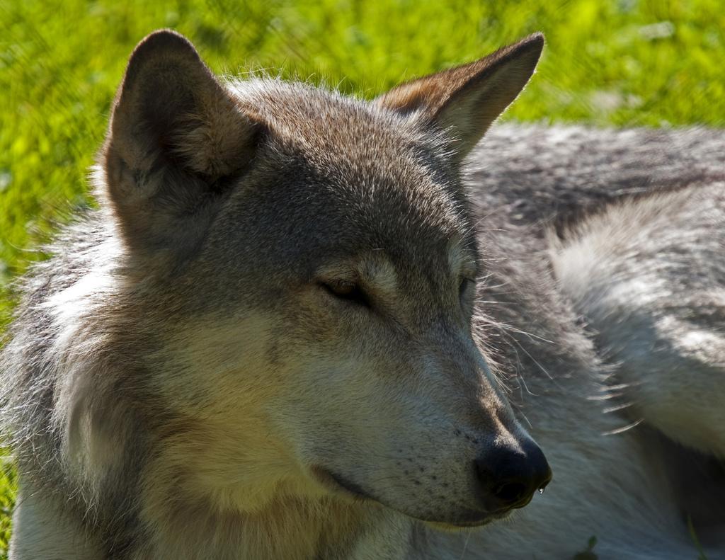 wolf-108