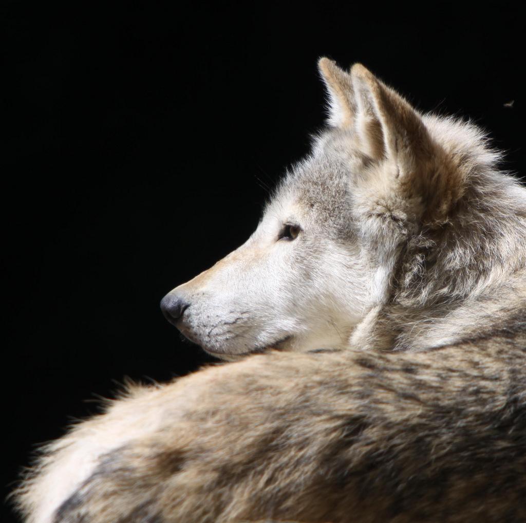 wolf-111