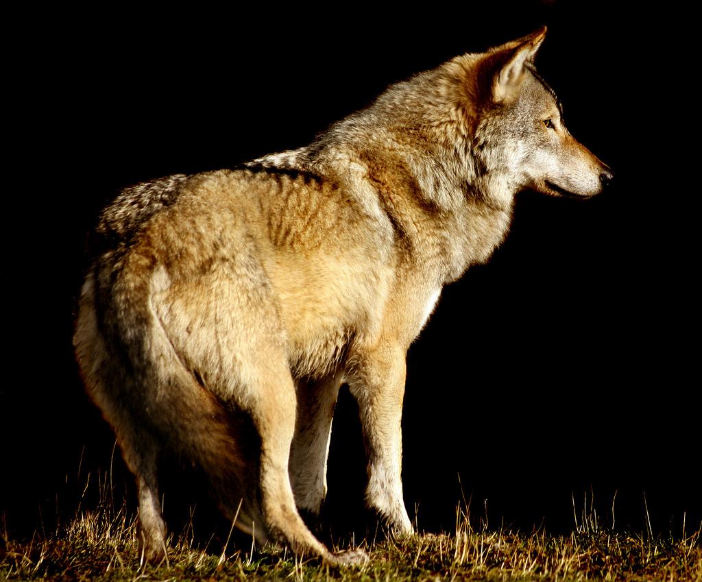 Wolf onblack