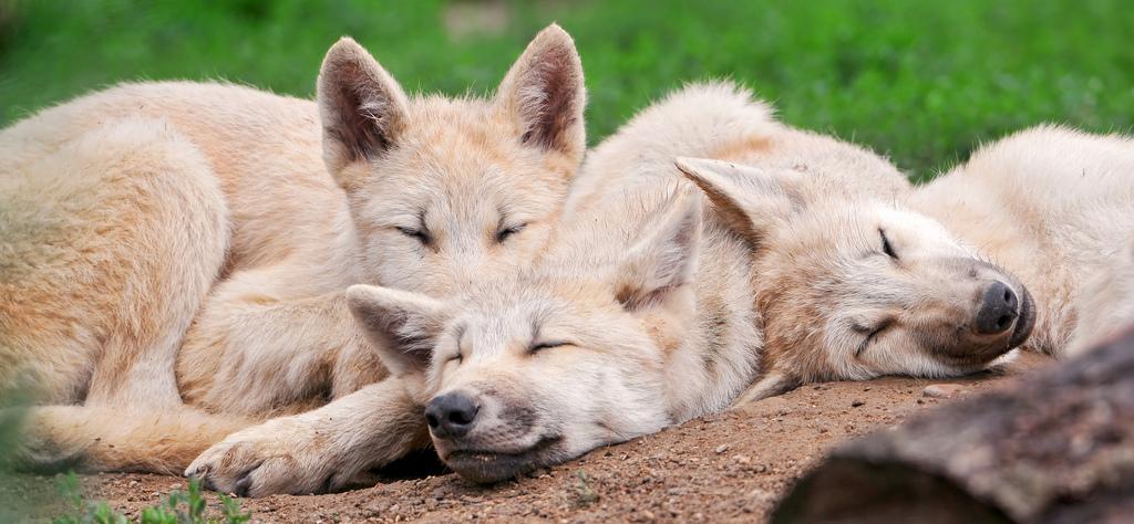 wolf-117