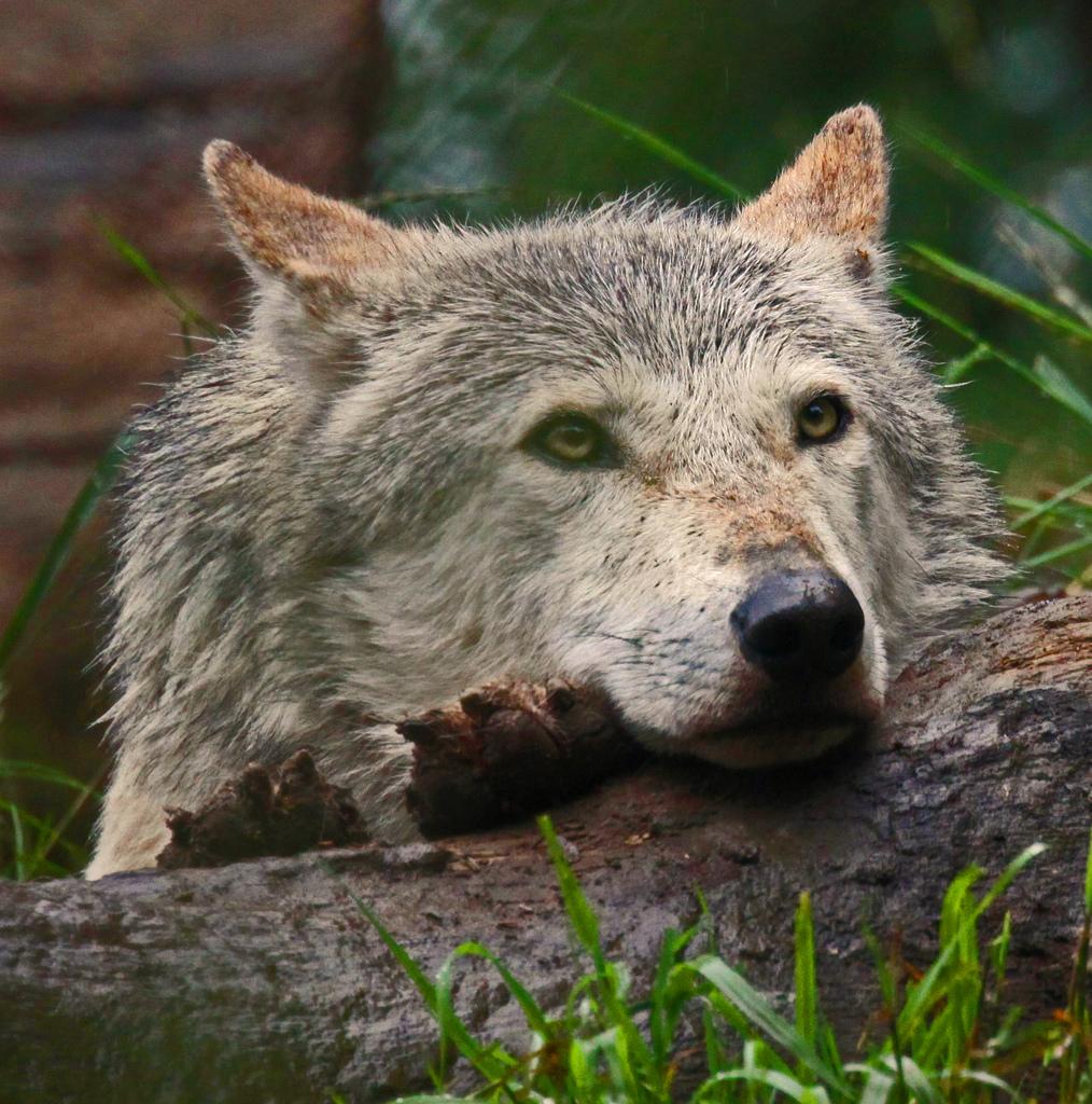 wolf-118
