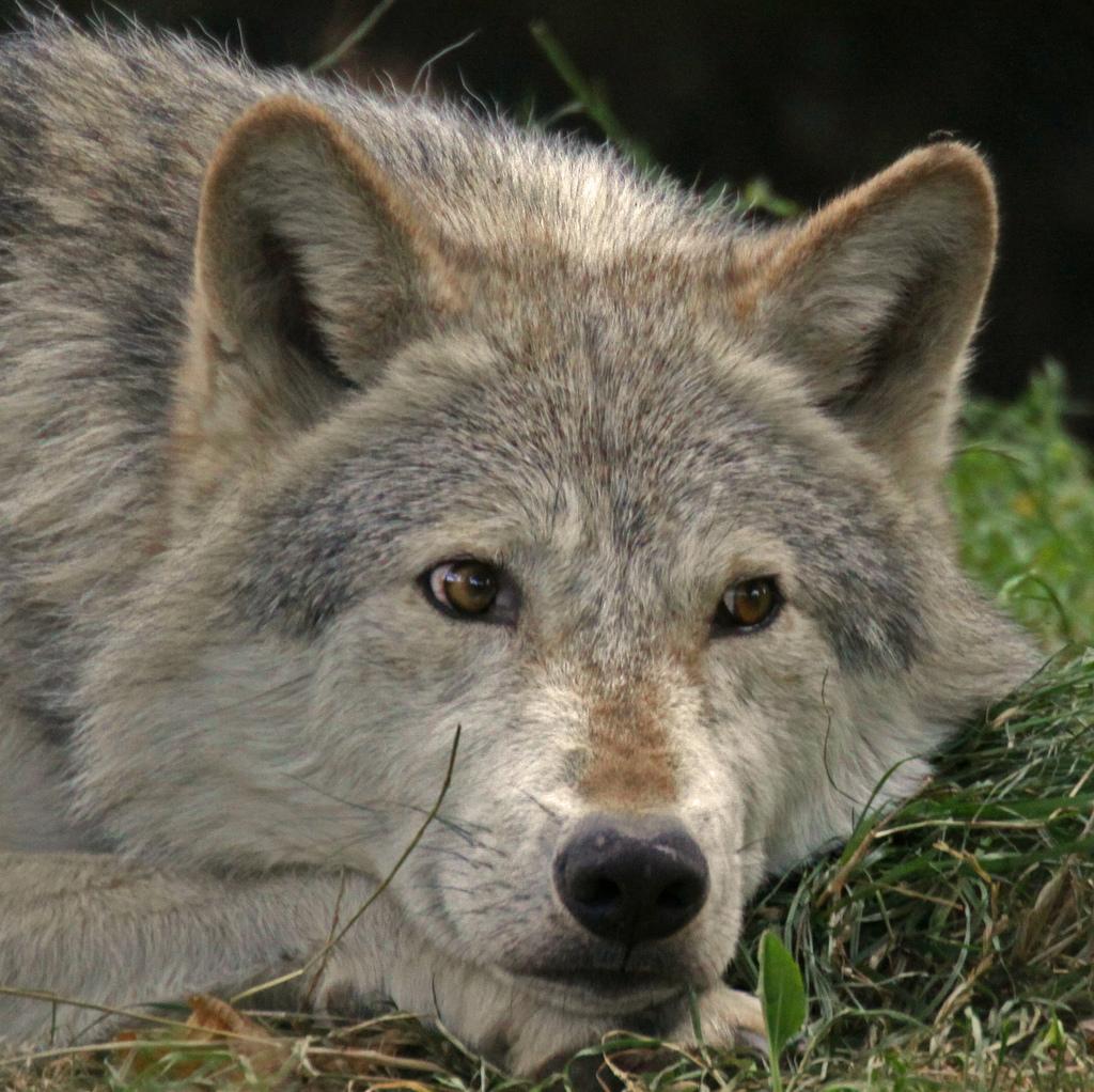 wolf-119