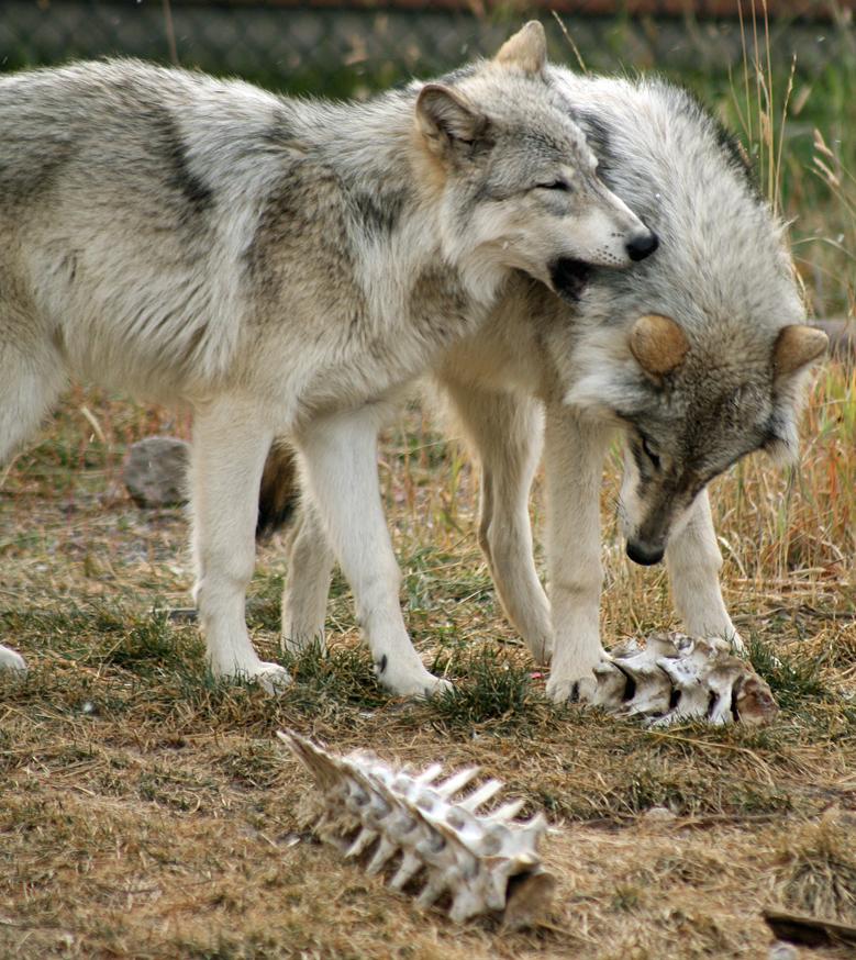 wolf-121