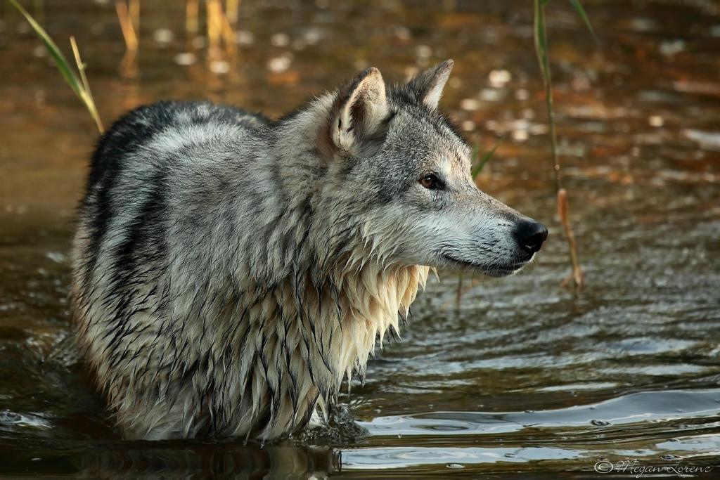wolf-122
