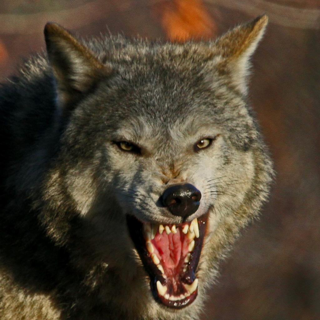 wolf-127