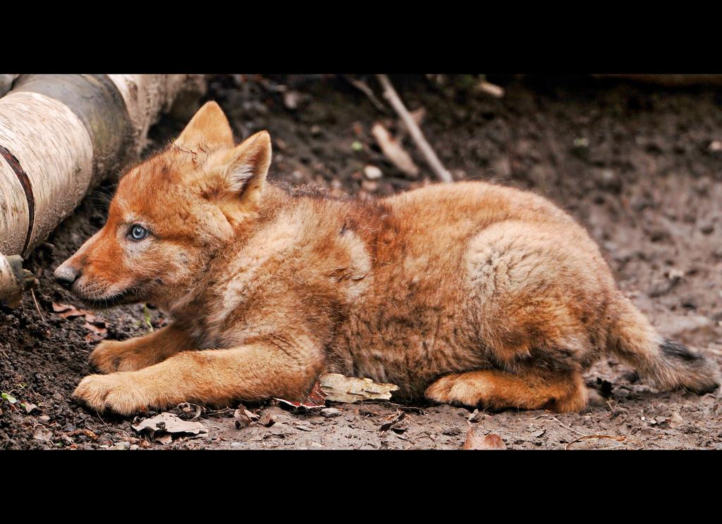 wolf-128