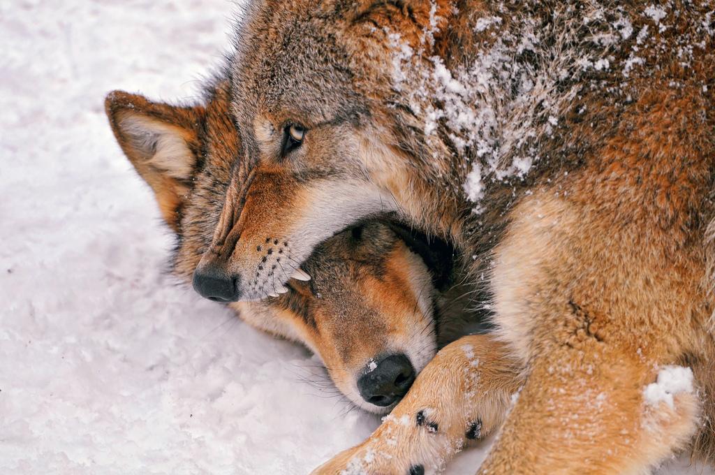 wolf-129