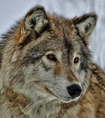 wolf-130