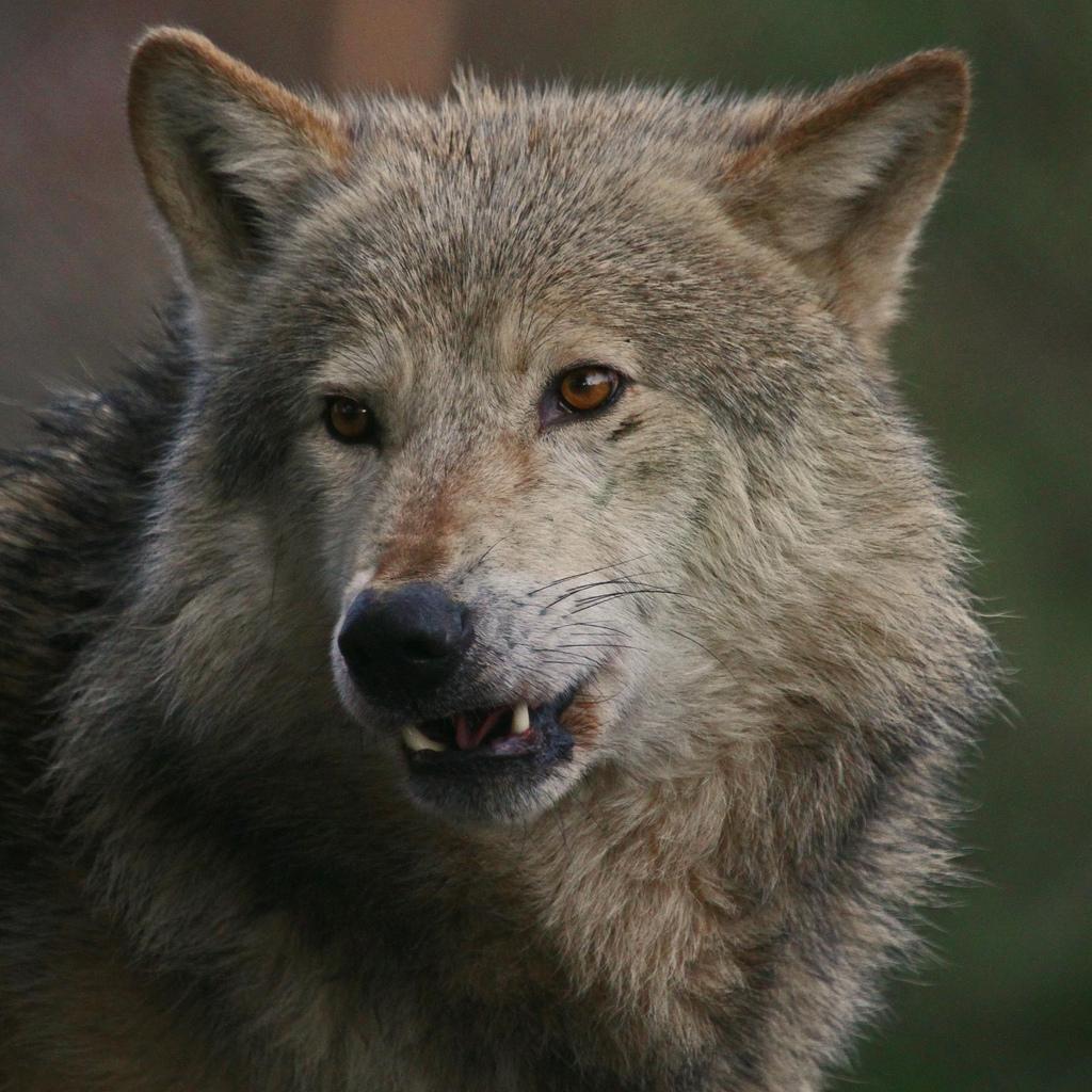 wolf-131