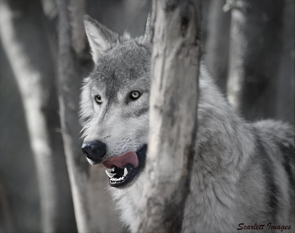 wolf-132