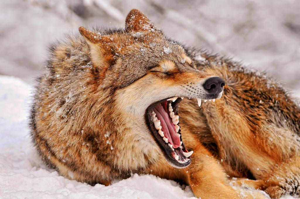 wolf-137