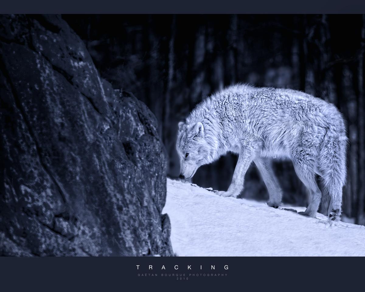 wolf-138