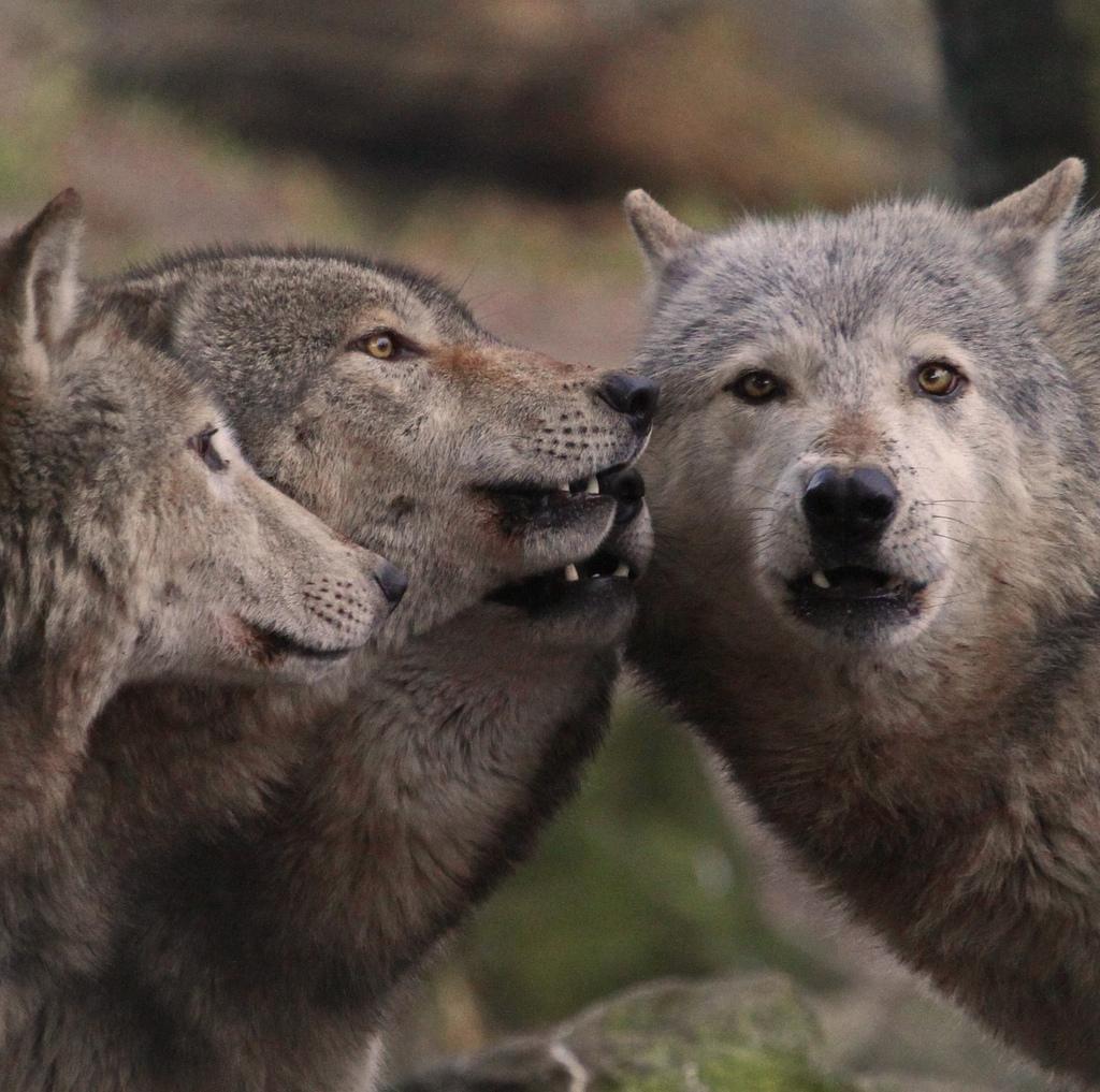 wolf-139